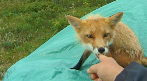 TImothy Treadwell being nibbled by his fox friend